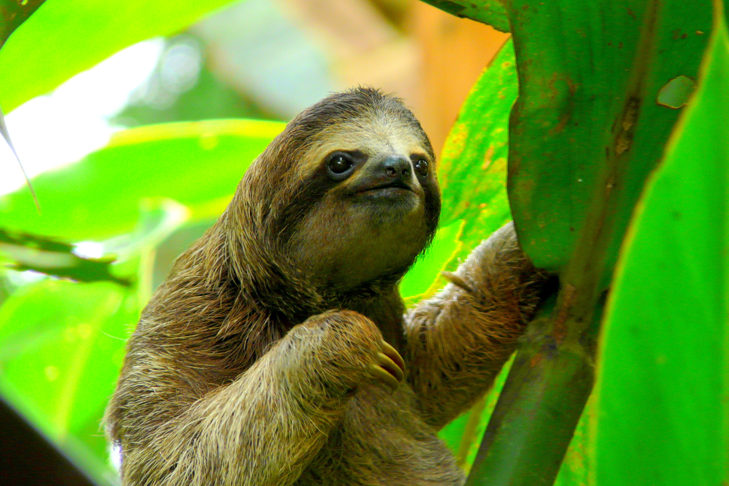 Zip-line in Monteverde and see sloths